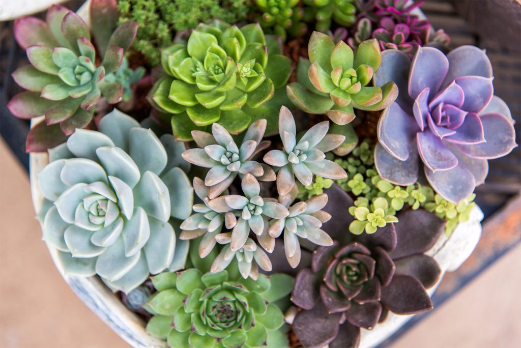 How To Care For Succulents Blooming Desert Pools Landscape