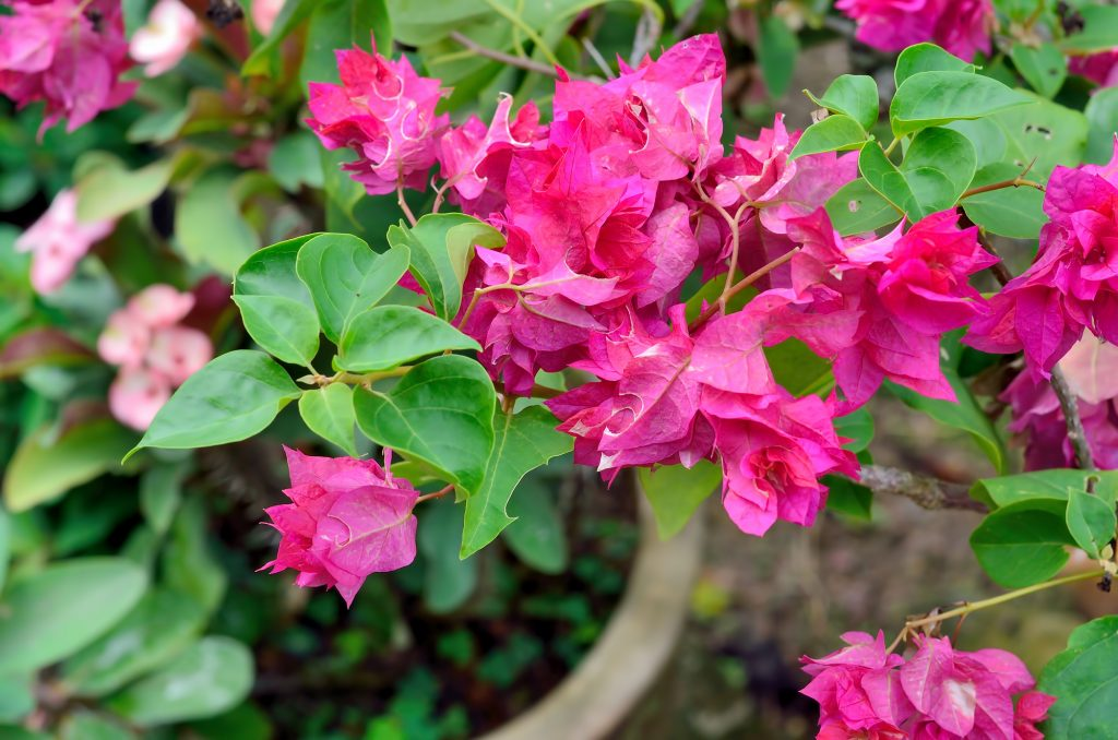 5 Desert Landscaping Shrubs And Bushes Blooming Desert Pools
