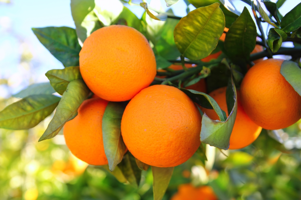 Orange Trees For Zone 9 - Orange Varieties That Grow In